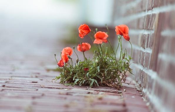 Picture macro, flowers, photo, plant, Maki
