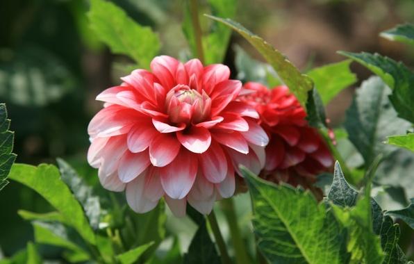 Picture flower, summer, the sun, joy, flowers, bright, mood, morning, walk, peony