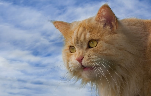 Picture cat, the sky, cat, look, muzzle, red cat