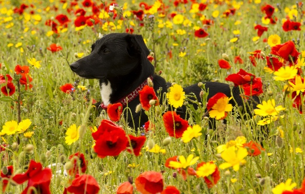 Picture flowers, Maki, dog, meadow