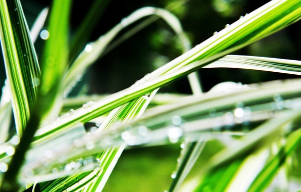 Picture grass, water, drops, Rosa, blur, linear leaves