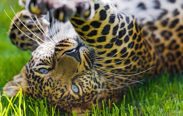 Picture grass, face, the game, paw, predator, leopard, leopard