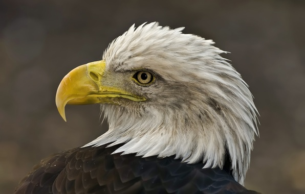 Picture bird, eagle, head, feathers