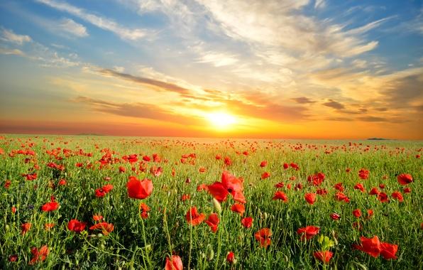 Picture landscape, sunset, flowers, nature, Maki, meadow
