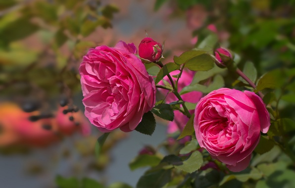 Picture leaves, pink, rose, branch, petals, buds, flowering