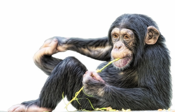 Picture monkey, Photoshop, chimpanzees