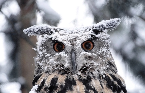Picture winter, eyes, snow, owl, bird, feathers, beak, color, owl, tail