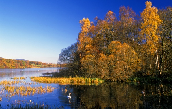 Picture autumn, forest, the sky, trees, lake, bird, Swan