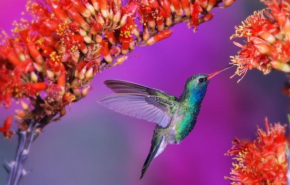Picture flowers, bird, Hummingbird, bird