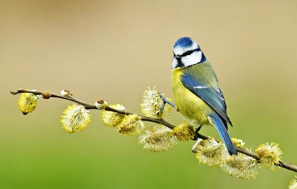 Picture bird, branch, Verba, tit, blue tit