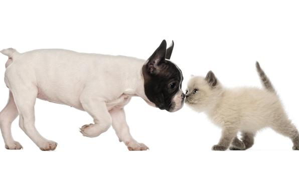 Picture dog, friendship, puppy, kitty, friends, French bulldog, British Shorthair