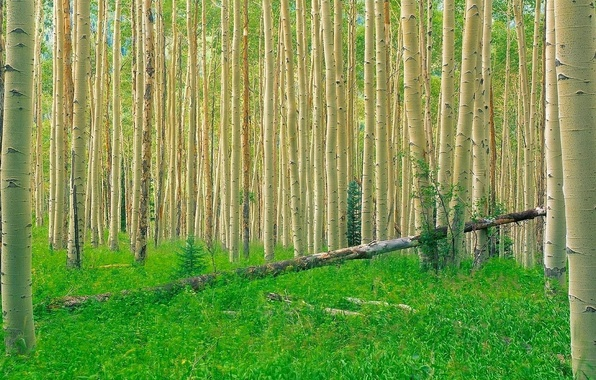 Picture forest, grass, trees, aspen