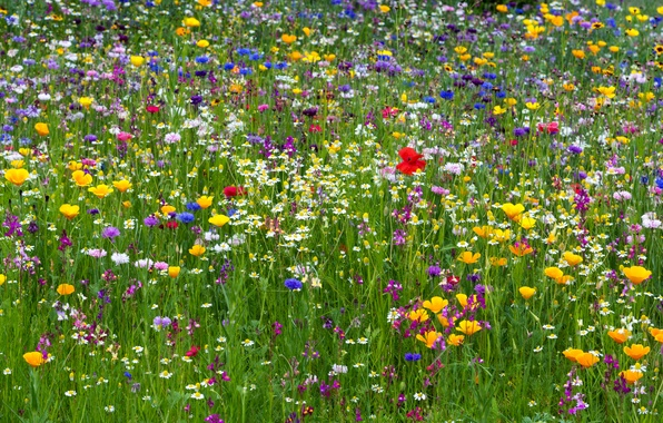 Picture photo, Flowers, Grass, Chamomile, Maki, Meadow, A lot, Cornflowers, Buttercup