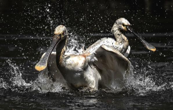 Picture water, birds, herons