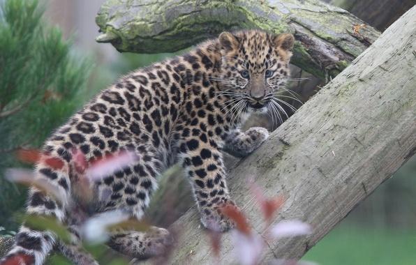 Picture leopard, log, cub, kitty, The far Eastern leopard, The Amur leopard