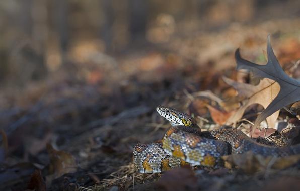 Picture leaves, snake, bokeh, Corn snake