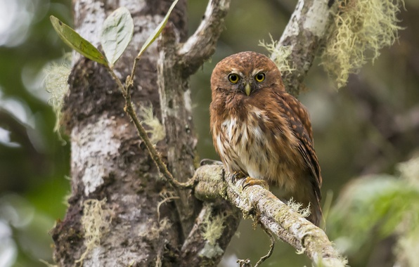 Picture tree, owl, bird, branch, Andean sychik