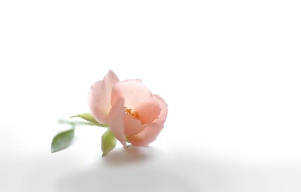 Picture flower, pink, tenderness, petals, Bud, briar