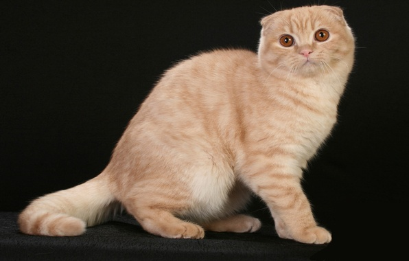 Picture photo, neko, kitty, Scottish