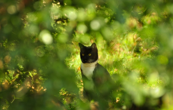 Picture cat, summer, cat, glare, the bushes, Kote, bokeh, razmytost