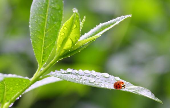 Picture leaves, macro, nature, Rosa, ladybug, morning