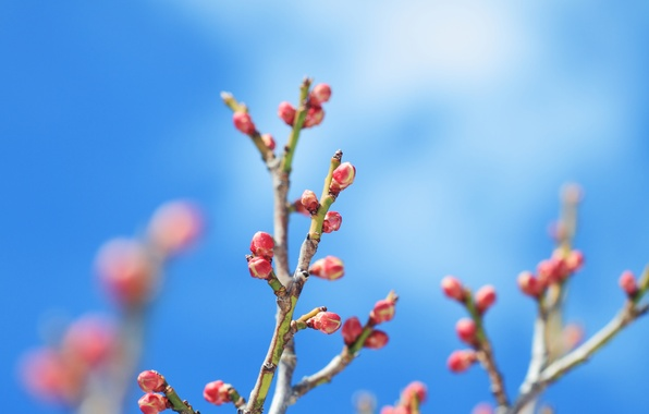 Picture stems, branch, buds, blue sky
