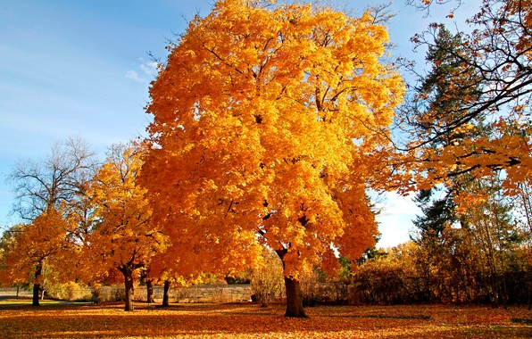 Picture autumn, tree, golden brown