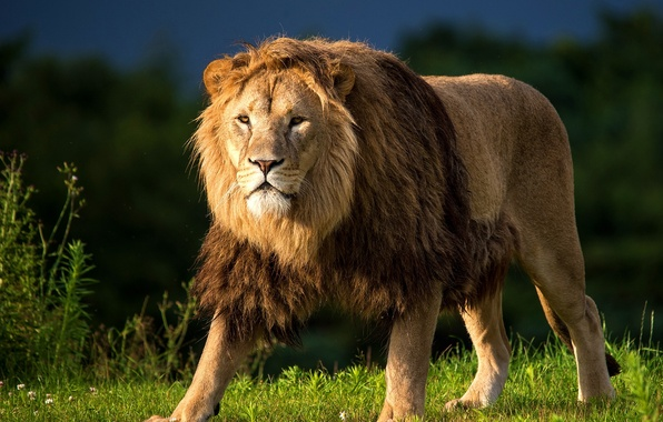 Picture grass, look, predator, Leo, meadow, mane