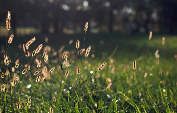 Picture greens, grass, macro, background, widescreen, Wallpaper, plant, blur, wallpaper, ears, widescreen, background, bokeh, full screen, …