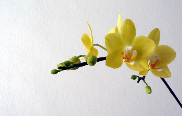 Picture flowers, yellow, petals, orchids