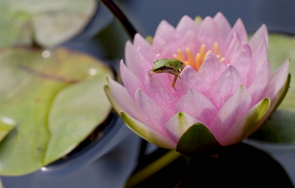 Picture flower, macro, frog, Nymphaeum, water Lily