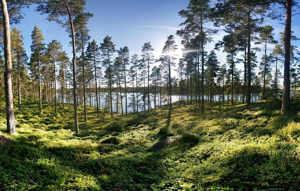 Picture greens, forest, grass, the sun, trees, lake, shore, Sweden, Smaland