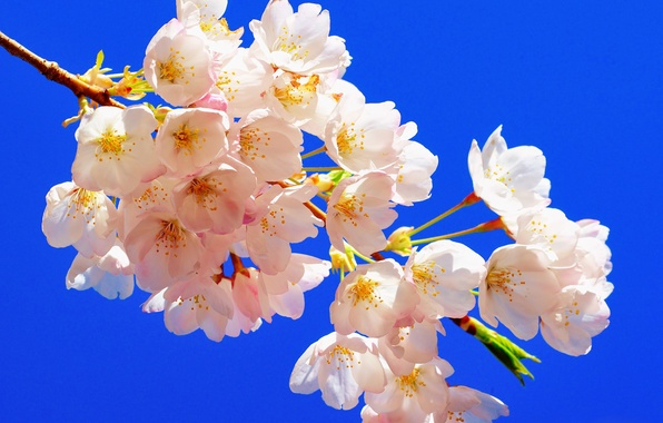 Picture macro, cherry, background, branch, flowering, flowers