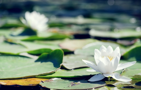 Picture leaves, flowers, pond, Lily, white, water Lily