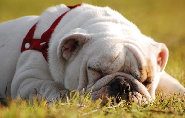 Picture stay, sleep, dog, English bulldog