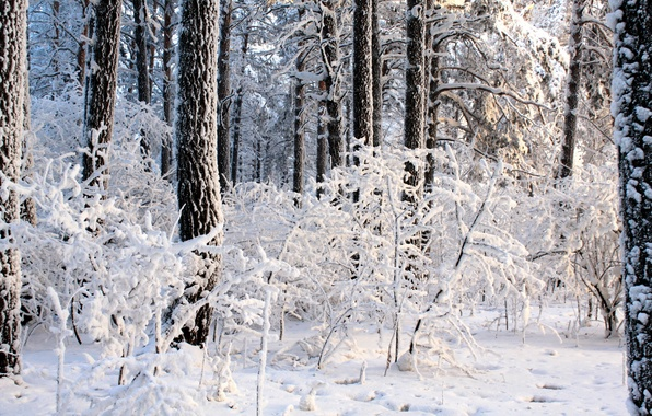 Picture winter, forest, light, trees, day, the snow, the bushes