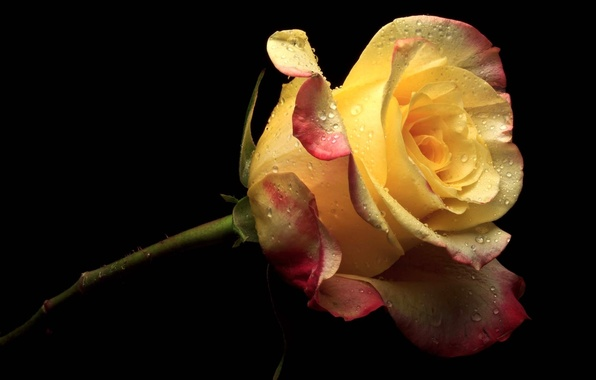 Picture flower, flowers, yellow, pink, rose, petals, black background