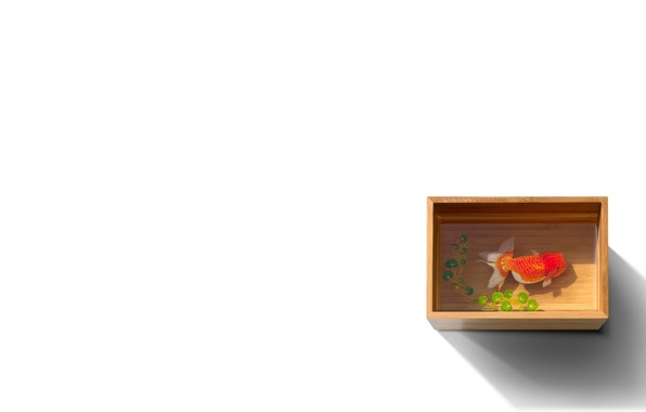 Picture water, box, fish, fish, white background, capacity, gold, box, duckweed