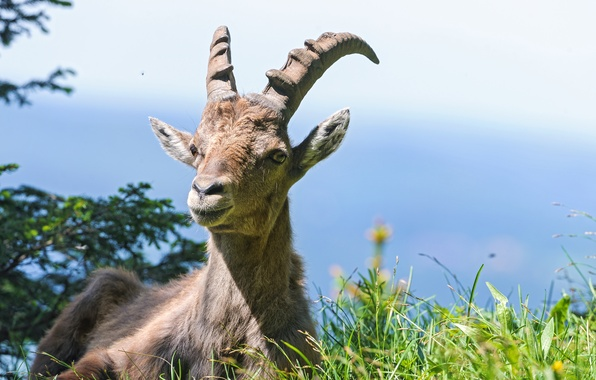 Picture grass, Alpine, ©Tambako The Jaguar, mountain goat, ibex