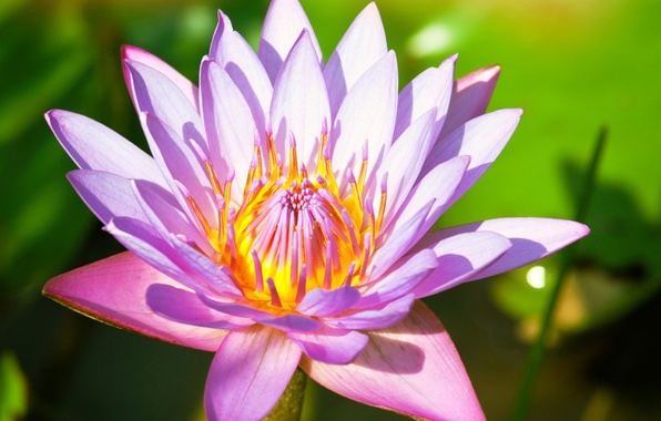 Picture greens, flower, leaves, pink, Lily, petals, stem, Lotus, Lily