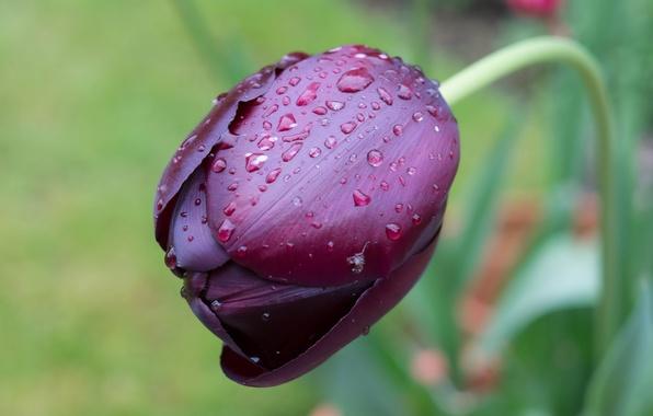 Picture drops, macro, Tulip