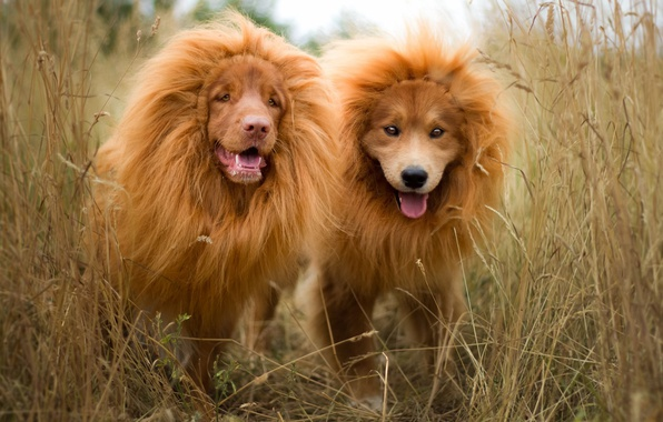 Picture language, dogs, grass, nature, Leo, puppies, pair, mane, red, lions, the cubs, muzzle, funny, breed, …