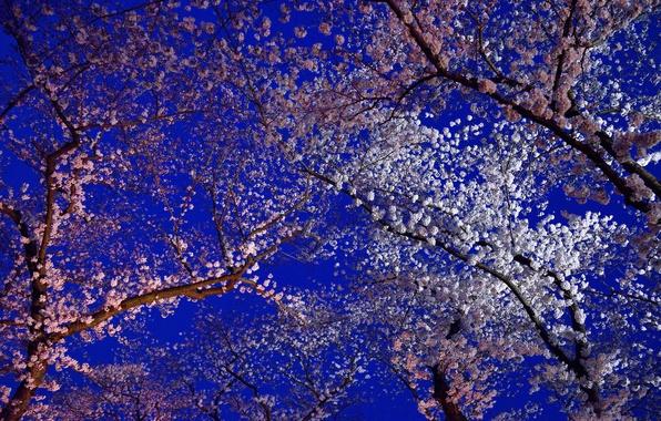 Picture flowers, spring, Japan, Sakura, flowering, Kyoto