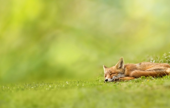 Picture greens, grass, nature, Fox, sleeping, red, Fox