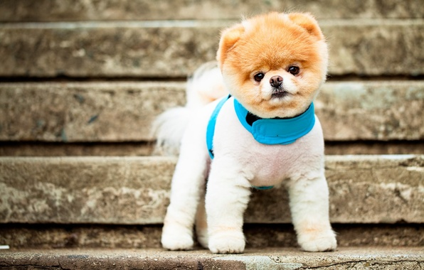 Picture face, eyes, dog, ladder, collar, ears, breed, Pomeranian