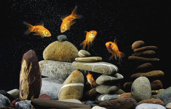 Picture background, black, colorful, pebbles, gold, fish, Five