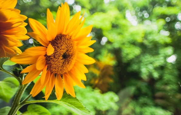 Picture greens, flower, leaves, flowers, yellow, background, sunflower, blur