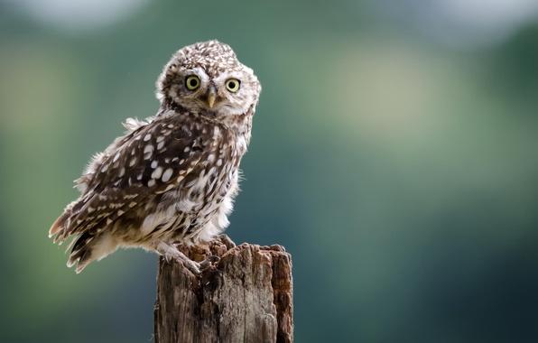 Picture look, background, owl, bird, stump, Owl