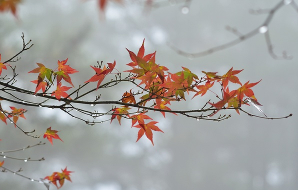 Picture autumn, leaves, drops, overcast, branch