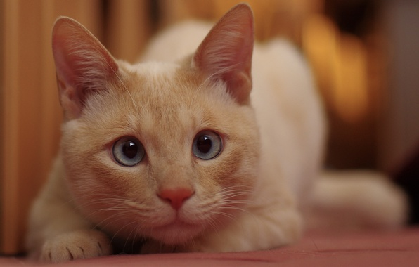 Picture cat, white, eyes, cat, Koshak, looks